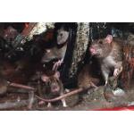 Tegen muizen en ratten
